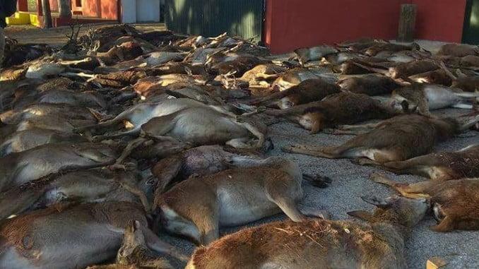 Animales abatidos en una montería en la zona del incendio de La Granada y Zufre