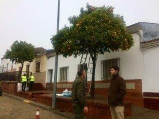 La recogida de naranjas en Valverde del Camino darán  hasta 6.000€ a las arcas municipales