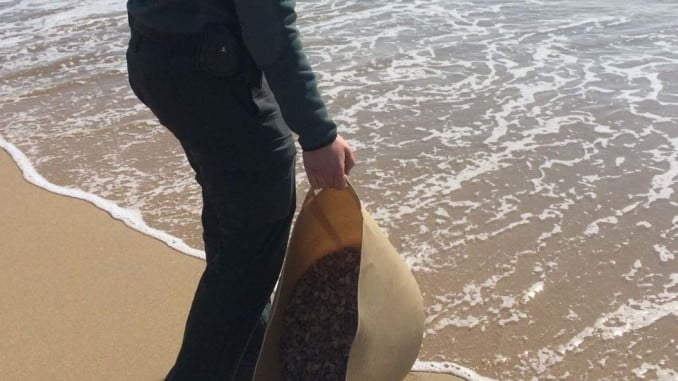 La Guardia Civil ha devuelto las coquinas vivas al mar