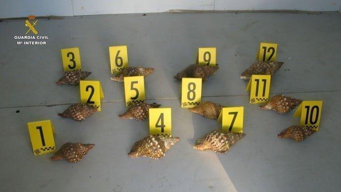 Las caracolas intervenidas tienen unas dimensiones de entre 20 y 30 cm de longitud
